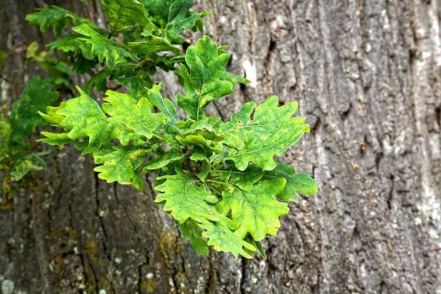 dubové listy na stromě